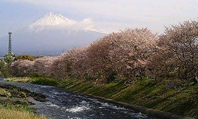 桜&富士山