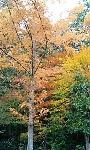 高山寺の紅葉2